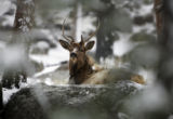 A young bull elk  beds down during a light snowstorm in Rocky Mountain National Park, Monday...