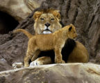 (One of the Denver Zoo's three African lion cubs spends some time with his dad named Krueger in...