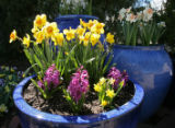 Yellow Daffodils and purple Hyacinth flowers decorate this planter Wednesday afternoon April 12,...