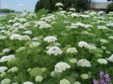 SH06D265YARDSMART April 24, 2006 _ Wild carrot in masses as a cutting flower. (SHNS photo courtesy...