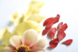 A Dahlia (l) with yellow rose petals (behind), and Ranunculus Bloomingdale Mix petals (JUDY...