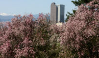 Tree blossoms are in full color in City Park Monday morning April 17, 2006 in Denver. With an...