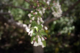 A flowering crabapple tree at the Denver Botanic Gardens for DIG. (JUDY DEHAAS/ROCKY MOUNTAIN NEWS)