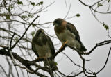 A pair of nesting Swanson's Hawks sit on a branch in the Rocky Mountain Arsenal National Wildlife...
