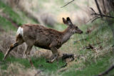 A Mule deer in the Rocky Mountain Arsenal National Wildlife Refuge Thursday afternoon May 4, 2006....