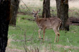 A White Tail deer in the Rocky Mountain Arsenal National Wildlife Refuge Thursday afternoon May 4,...