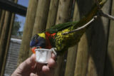 A lorikeet swings down and tries for the entire cup of nectar but learns to drink instead....
