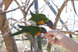 Two lorikeets attempt to feed together from a single cup of nectar. Lorikeet Adventure Experience...