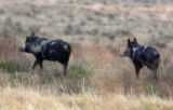 Feral hogs are starting to colonize in S.E. Colorado and wildlife biologists fear the hogs will...