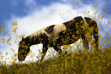CACCT101 - A horse grazes on a hill amidst mustard plants in Martinez, Calif., Monday afternoon...