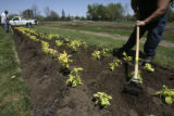 left,  Jerome Gomez, (cq), white  shirt, attends to a strip of tilled land planting Coleus Golden...
