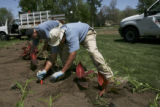 Dave (cq), a volunteer, left, hat, bent over, works with Breck English, (cq), horticulturalist for...
