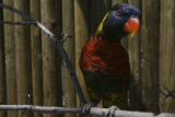 A lorikeet strikes a pose. Lorikeet Adventure Experience located within the Denver Zoo, offers a...