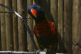 A curious lorikeet strikes a pose. Lorikeet Adventure Experience located within the Denver Zoo,...
