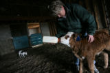 MJM230 Karla Lowe (cq) feeds an orphaned calf Friday at her father in law's Holly, Colo. ranch. ...