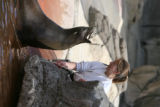 DLM7273  Zookeeper Jessica Stein feeds Hanna, a sea lion, a fish during an afternoon show at the...