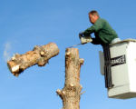 Bubba Bullun of the Grand Junction City Parks Department cuts off the remains of a pine tree...
