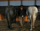 Justin Iacovetto (cq) gets horses Slick and Ice, left to right, ready  to pull a feed sleigh...