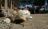 BG1062 Border Street: Free range chickens roam the property around the home of Dona Antonia,...
