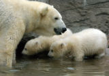 (DENVER Colo., March 24, 2005)  The new baby polar bear brothers made their public debut with...