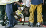 "JPM192  West Metro Fire-Rescue firefighters free ""Cody,"" a 7-year-old labrador retriever..."