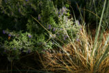In Williams' garden, a Walker Low Catmint (back) and a Blue Avena Grass (r) are both drought and...