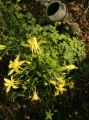 In Williams gardner, a Denver Gold Columbine is a bright spot in the shade. This columbine blooms...