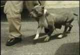 FROM NEWS4 WEBSITE: Denver police confiscated 36 pit bulls, including 13 puppies, from a home in...