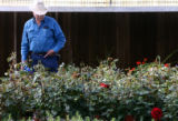 Jim Dill (cq) looks at 80 bushes of Scarlet Night Hybrid Tea roses at the Garden of All Seasons...