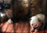 (GOLDEN, CO., JUNE 9, 2004) An unnamed Himalayan cat and her kitten, 2 of 71 cats confiscated by...