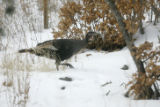 0200 A wild Turkey runs near the El Rio de Las Animas Perdias en Purgatorio, The River of Lost...