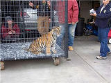 Tiger cub that was confiscated in Littleton, Colorado on Wednesday, December 20, 2007. Officials...