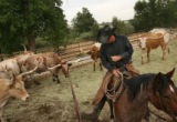 MJM250 Cody Sander (cq) leads longhorns out of their pen in preparation for the Daily Parade in...