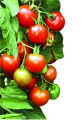 SH05D227TOMATO April 18, 2005 _ Gardeners can get started growing tomatoes early. There is a...