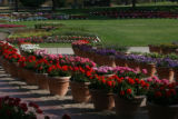 Pots filled with different kinds of geraniums, with other plants, soak up the afternoon sun,...