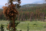 Trees killed by pine Beetle can be seen from Swan Mountain Road, Wednesday afternoon, July 11,...