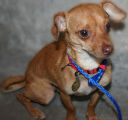 "D.C., a 1-year-old neutered male Chihuahua mix. ""A Chihuahua is a good traveling dog,""..."