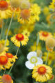 Yellow and orange blanket flowers (gaillarda) and white sego lilies in west Denver on June 27,...