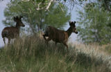 Two buck Mule deer, at the Rocky Mountain Arsenal National Wildlife Refuge, Thursday afternoon,...