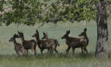 Some Mule deer stay in the shade from a tree, at the Rocky Mountain Arsenal National Wildlife...