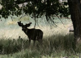 A Mule deer, buck, stays in the shade from a tree, at the Rocky Mountain Arsenal National Wildlife...