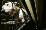 Crusher, a pit bull terrier awaits his demise of either being given a home outside of Denver...