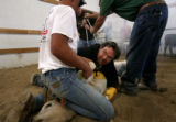 (PG14964)  Guest Don Hunter helps hold down a calf for branding at the  Colorado Cattle Ranch in...