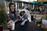 Cady (cq) a boxer, jumps up on a table at Starbucks, Sunday, October, 26, 2008 at 2nd and Fillmore...