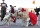 (CS706) Brie and Bouillon, dressed as the wolf and little red riding hood, enjoy Howlween, a...