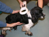 THE DUMB FRIENDS LEAGUE RECEIVES 98 DOGS FROM DELAWARE COUNTY, OKLAHOMA  Poodles and Spaniel Mixes...
