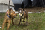 L to R: Jax, a pit bull, plays with Zena , a female brindle-colored pit bull,  at Mariah's Promise...