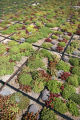 EJ0289 A roof at the UMB Bank near Stapleton is covered in flats of a variety of sedum plants. ...