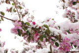 The snow shower that swept through Steamboat Springs at dawn on Wednesday coated flowering...