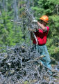 James Perryman (cq) 48, an inmate in the Colorado Department of Corrections removes a bark beetle...